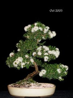 new zealand tea tree bonsai … like spots of melting snow Garden Art, Planting Flowers, Plants, Bonsai Tree, Ikebana, Cacti And Succulents, Cactus And Succulents, Growing Tree, Miniature Trees