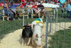 Wisconsin Events: Pig, Duck and Goat Races on S Fairview Road Wisconsin State Fair, County Fairgrounds, Nigerian Dwarf Goats, Beaver Dam, Meet Friends, Sprint Cars, Main Attraction, West Africa, Farm Animals