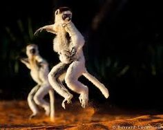 Verreaux's Sifakas (a species of lemur, a primitive primate), Madagascar. By British brothers William & Matthew Burrard-Lucas. Primates, Mammals, Wildlife Photography, Animal Photography, Baby Animals, Cute Animals, Wild Animals, British Wildlife, Underwater Creatures