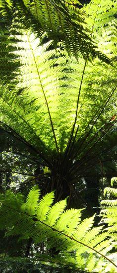 Tree ferns, Piopiotahi, South Island New Zealand by Renee Tee Ferns Garden, Shade Garden, Places Around The World, Around The Worlds, Layout Design, Dubai Miracle Garden, Magic Garden, Tree Fern, Olive Garden