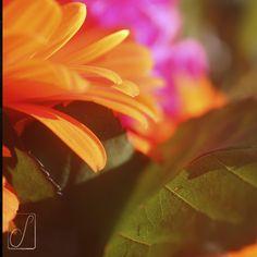 #unabellagiornata 87/365 Tripudio di fiori per me! #buoncompleanno #gerbera