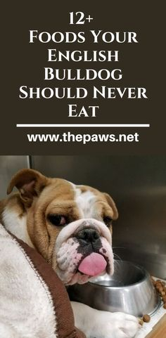 There are several food types that should never be fed to an english bulldog under any circumstances. Toy Bulldog, Cute Dog Photos, English Bulldogs, Dog Boarding, Types Of Food, Dog Supplies, Dog Owners, Dog Stuff, Dog Toys