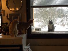 Sisäkissat ja ulkokissa. Indoor Cats with a outdoor Cat