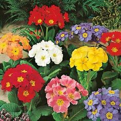 Polyanthus Large Flowered Mix Mr Fothergill's Range Seed - Irish Plants Direct