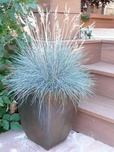 Blue Sheep's Fescue is a great container plant for cooler climates, as shown here in Sheila Schultz's container garden in Denver, Colorado | Fine Gardening