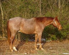 This young Quarter Horse is ready to start his training! See his ad on Equine.com.