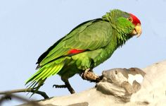 Amazzone guance verdi (Amazona viridigenalis). Splendido pappagallo dalle guance verdissime e dal vertice rosso, oggi purtroppo sull'orlo dell'estinzione a causa della deforestazione selvaggia del Messico nord-orientale.