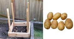 How to Grow 100 Pounds of Potatoes in 4 Square Feet. They're fairly low maintenance, can be grown in a pot or in the ground, last a fairly long time if stored properly, and can be very nutritious (high in potassium and vitamin C). #gardening #growingtips
