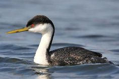 Western Grebe #11 (out of order) First seen: CA USA