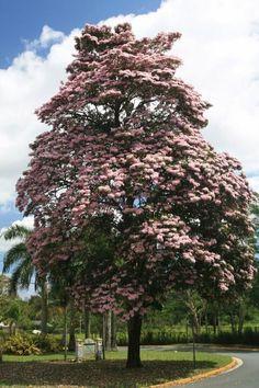 Árbol de Roble, Guaynabo, PR