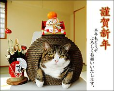 Maru, the Internet's most beloved Scottish Fold, has been busy celebrating Oshogatsu, otherwise known as Japanese New Year.
