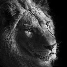 Creatures Les Superbes Photographies Animalières DAntti Viitala - Captivating black and white animal portraits by antti viitala