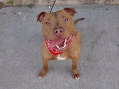 NAME: JOJO AGE: ABOUT 1 YEAR OLD BREED: PIT MIX WEIGHT: 63 LBS LOCATION: KEARNEY, NJ - Rebound Hounds Res-Q