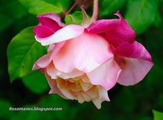 Rosette Delizy tea rose