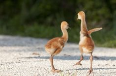 I'm So Excited - Sandhill cranes, Riverbend Park, Florida