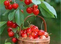 plantar semillas de cereza