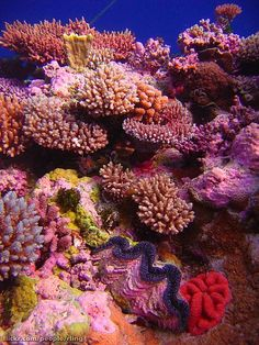 Acropora coral garden with giant clam. Raging Horn, Osprey Reef, Coral Sea Courtesy of Creative Commons Beneath The Sea, Under The Sea, Poisson Mandarin, Coral Garden, Underwater Life, Underwater Painting, Ocean Creatures, Tier Fotos, Sea And Ocean
