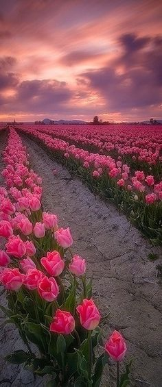 A sea of pink and green!! Pink tulips from Amsterdam....... beautiful