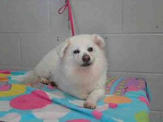 #A476440 Release date 12/16 I am a male, white Pomeranian mix. Shelter staff think I am about 5 years old. I have been at the shelter since Dec 04, 2014.    City of San Bernardino Animal Control-Shelter. https://www.facebook.com/photo.php?fbid=10204106087950037&set=a.10203202186593068&type=3&theater
