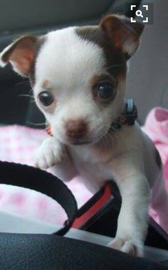 This 2 types of Chihuahua are very popular today. If you want to know the difference about apple head chihuahua and deer head chihuahua, read the short guide about them. Tiny Puppies, Cute Puppies, Cute Dogs, Cute Baby Animals, Funny Animals, Baby Chihuahua, Cute Dog Pictures, Dog Photos, Dog Behavior