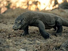 """The Komodo Dragon.  These guys are very interesting. They remind me of """"Joanna"""" from """"They Rescuers Down Under"""""""