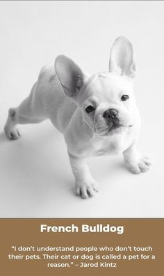 Greensboro Nc French Bulldog Boston Terrier Mix Meet Bubba A