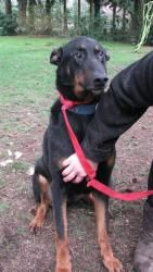 Prescott - Friendly Loyal Obedient is an adoptable Doberman Pinscher Dog in Auburn, WA. Prescott is whats called a King Doberman/Shepherd we are told. He is a big & tall boy!! Very handsome and stunni...
