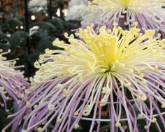 Through the Sapphire Sky: Chrysanthemums in bloom & Japanese autumn sweets