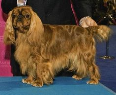 """Herbie"" bred by Marsward Kennels - English Toy Spaniel"