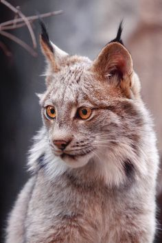 Lynx Alert--can I have one of these for a pet? PLEASE?