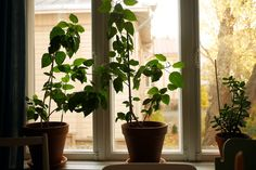 Hibiscuses on my windowsill. tuulinenpaiva.fi
