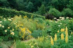 Hadspen House garden. Somerset. the Yellow herbaceous borders in summer. Lupins, Roses, Cortaderia.Sandra & Nori Pope.