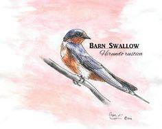 Original artwork created by Erin Crumpler for Friends of Coppell Nature Park (c) Barn Swallow, Original Artwork, Birds, Park, Friends, Nature, Animals, Animales, Amigos