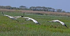 Whooping Cranes (Grus americana) Take Off Image by Larry Meade Whooping Cranes, Aransas NWR, TX,