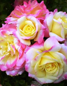 When to buy a rose bush. What is the prettiest rose? World's prettiest flower this year. Do floribunda roses bloom all summer? How to keep a rose bush blooming. Floribunda Roses, Shrub Roses, Beautiful Rose Flowers, Pretty Roses, Best Roses, Mountain Rose, Rose Bush, Garden Roses, Blossoms