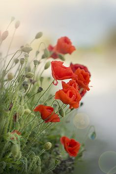 Pretty Little Red Poppies - Lovely !