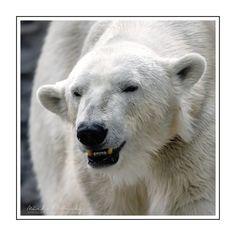 Medvěd lední (Ursus maritimus) - Zoo Praha označovaný též jako polární medvěd či bílý medvěd, je velký druh medvěda typický pro severní polární oblast. Oproti ostatním druhům využívá užší ekologickou niku, na níž se výborně adaptoval tělesnými vlastnostmi uzpůsobenými na nízké teploty, na pohyb na sněhu, po ledu a v neposledním řádě na plavání v chladné vodě. Živí se zejména lovem, přičemž jeho hlavní kořistí jsou tuleni (Phocidae), zdržující se při okrajích mořského ledu. Není-li potravy… Polar Bear, Animals, Instagram, Animales, Animaux, Animal, Animais