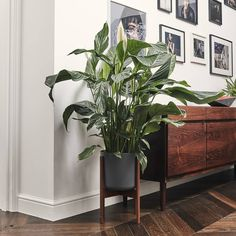 34 Ideas Bedroom Plants Peace Lily For 2019 Peace Lily Indoor, Peace Lily Plant, Indoor Garden, Indoor Plants, Home And Garden, Lilly Plants, Year Round Flowers, Peace Lillies, Mid Century Modern Living Room