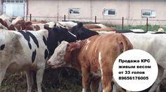 Как выбрать животное, подходящее для продажи   Выбор стада для покупки может зависеть от следующих факторов:  • планирование дальнейшего улучшения стада; • экономическая обоснованность покупки; • программа разведения крупного рогатого скота; • доступность пастбища или корма; • доступность и месторасположение воды для поголовья