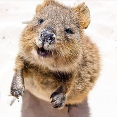 Happy first day of summer, we can't wait to dive right in to those beautiful bea. Happy Animals, Nature Animals, Funny Animals, Cute Animals, Cute Creatures, Beautiful Creatures, Animals Beautiful, Dog Organization, Quokka