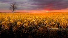 Nick Brundle - Photography posted a photo:  Sunset with a lone tree growing in a rapeseed field, Jutland, Denmark  On Getty Images  Available for licensing and purchase on Getty Images.  My Getty Images