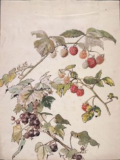 Beatrix Potter : Blackberry and blackcurrant c1905