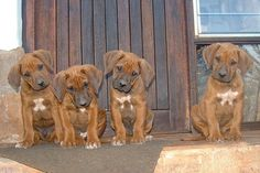 Boyfriend and I dream about these sweet things-- Rhodesian ridgebacks