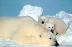 The Bear Family---Credit: USFWS---The family of bears (Ursidae) has eight living species. They are solitary animals that only hang out with other bears during mating season. Young bears, like the polar bear cubs above, stay with their mothers until they are old enough to go out on their own, usually at age two.