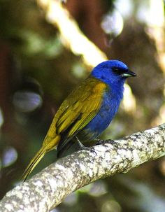 L39 Blue-capped Tanager (Thraupis cyanocephala), South America by GaloB1, via Flickr