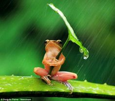Funny pictures about A Little Frog Under His Umbrella. Oh, and cool pics about A Little Frog Under His Umbrella. Also, A Little Frog Under His Umbrella photos. Baby Animals, Funny Animals, Cute Animals, Animal Fun, Nature Animals, Animal Memes, Wild Animals, Beautiful Creatures, Animals Beautiful