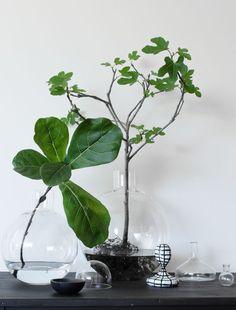 Feigenbäume und Feigenbaumäste in vasen #figinavase