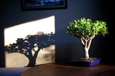 HappyModern.RU | Денежное дерево (60 фото): как получить красивое и здоровое растение | http://happymodern.ru