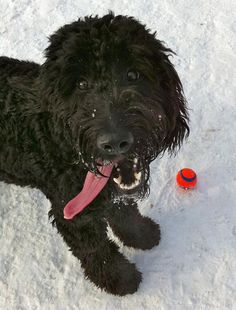 playful labradoodle ball