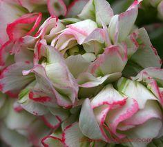 Pelargonium Appleblossom